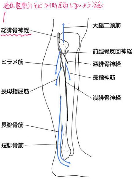 腓骨頭と総腓骨神経