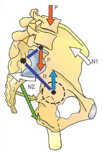 股関節と仙腸の位置関係