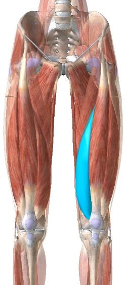 大腿四頭筋:内側広筋