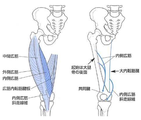 内側広筋斜頭線維
