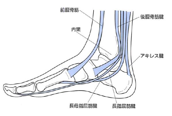 後脛骨筋・長母趾屈筋・長趾屈筋