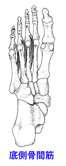 足部の底側骨間筋