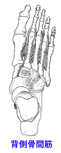 足部の背側骨間筋
