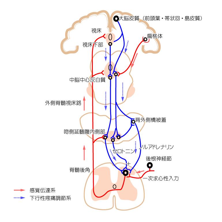 下降性疼痛抑制系とPAG(中脳中心灰白質)