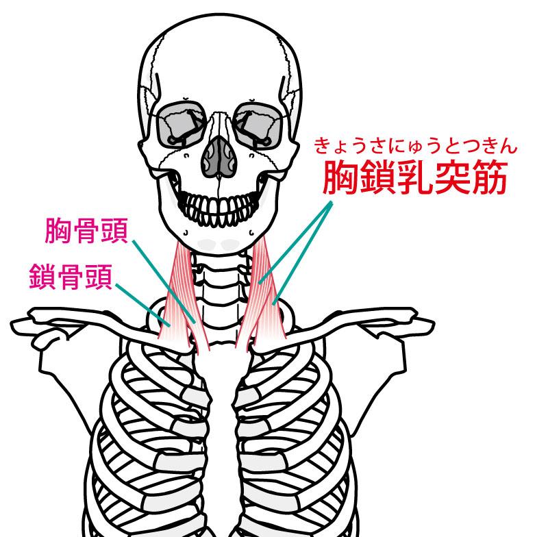 胸鎖乳突筋の作用は肢位によって違うよ
