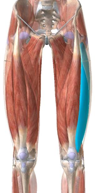 大腿四頭筋:外側広筋