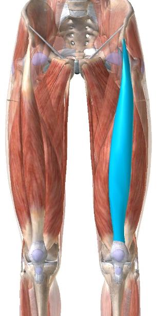 大腿四頭筋:大腿直筋