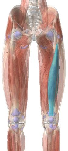 大腿四頭筋:中間広筋
