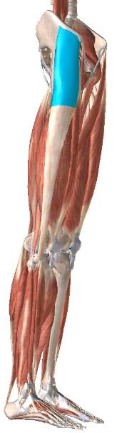 大腿筋膜張筋 リハビリ 理学療法