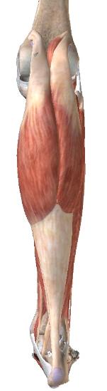 下腿三頭筋(腓腹筋)