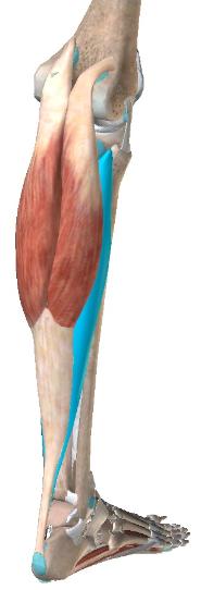 下腿三頭筋(腓腹筋+ヒラメ筋)