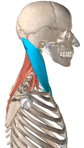 胸鎖乳突筋1