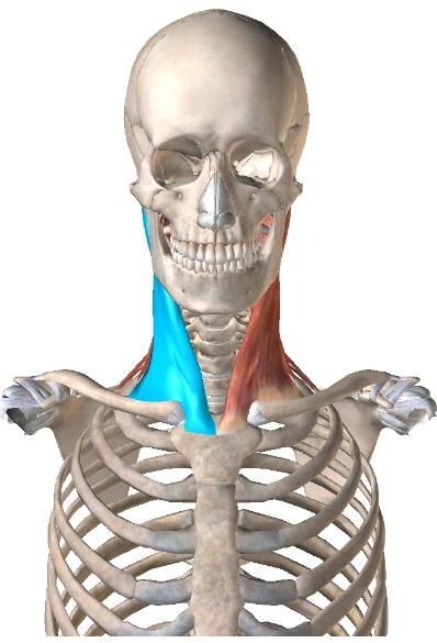 胸鎖乳突筋2