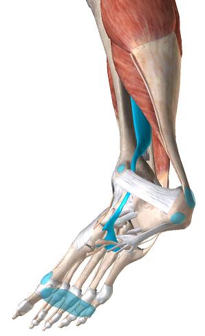 後脛骨筋2