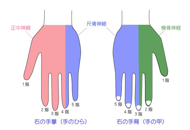 手の神経支配