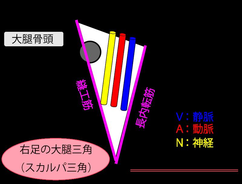 『スカルパ三角(大腿三角)』とは? 「構成・通るモノ・触診方法」も解説するよ