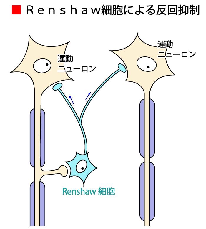 レンショウ細胞,反回抑制