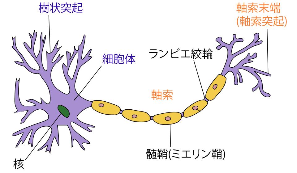 神経細胞(ニューロン)の名称