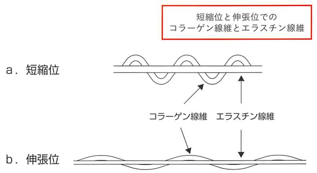 コラーゲン線維とエラスチン線維