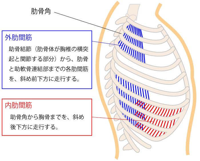 内肋間筋と外肋間筋と呼吸